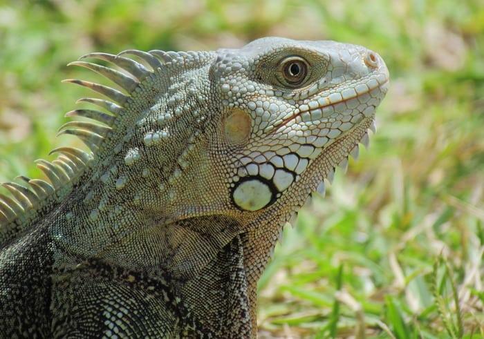 Gecko in Caribbean